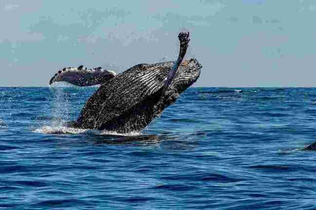 QSSM-Mexico-whale-watching-breach-jump
